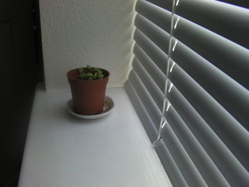 Daisy sprouts